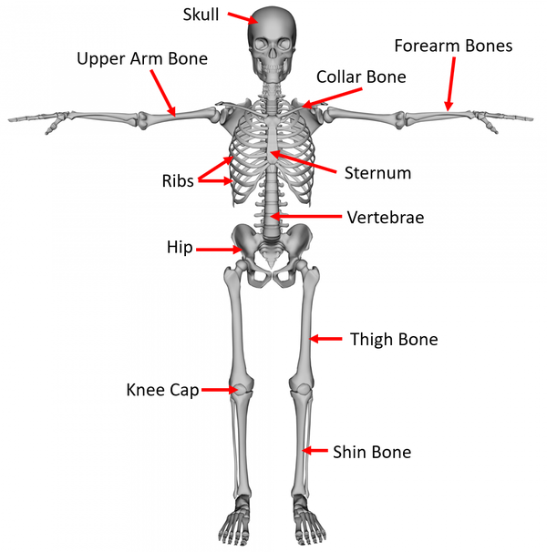 Skeletal System - Key Stage Wiki